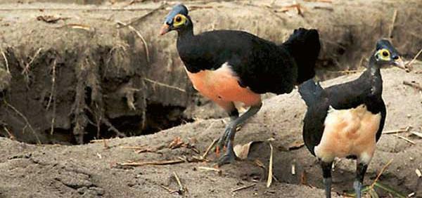 hewan endemik pulau sulawesi